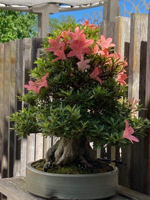 The last week for the azaleas...