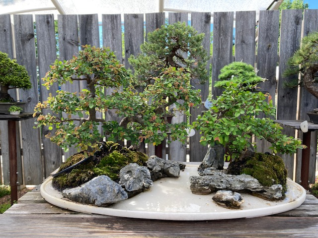 Chinese elm pending...… the water Buffalo will arrive soon