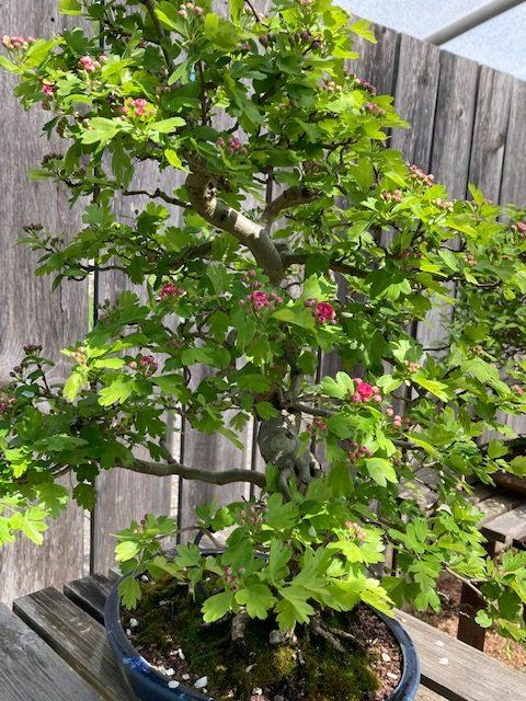 Hawthorne blooming