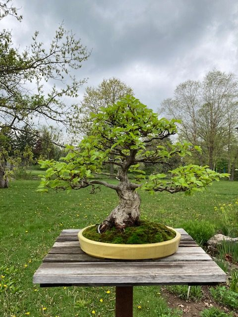 Korean hornbeam nearly fully leafed out