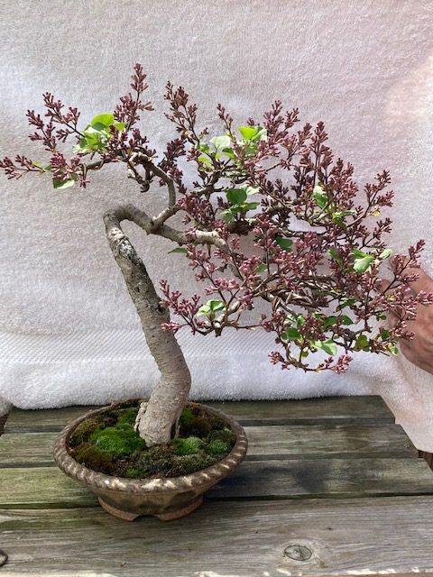 Miss Kim Lilac blooming